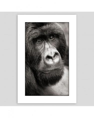 Beringei - Gorille - Poker face